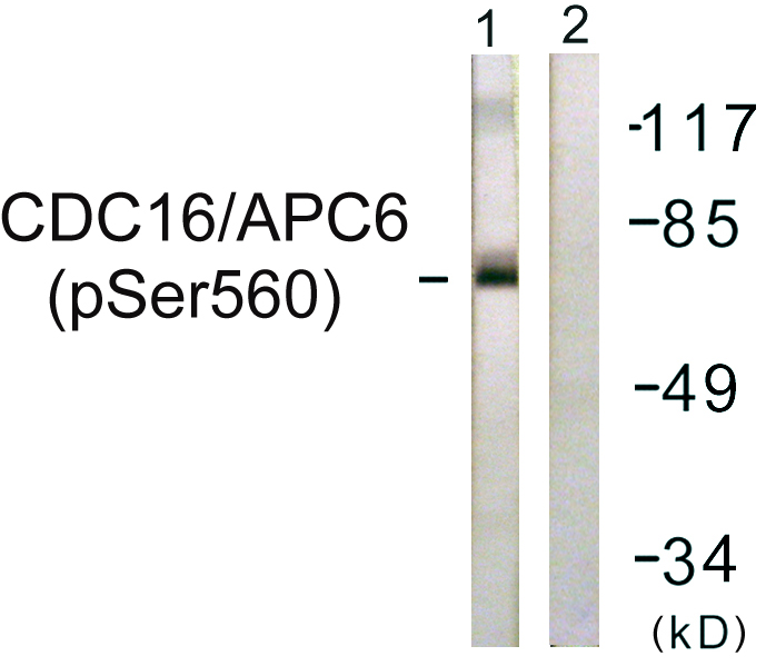 CDC16 (Phospho-Ser560) Antibody (OAAF00215) in HuvEc cells using Western Blot