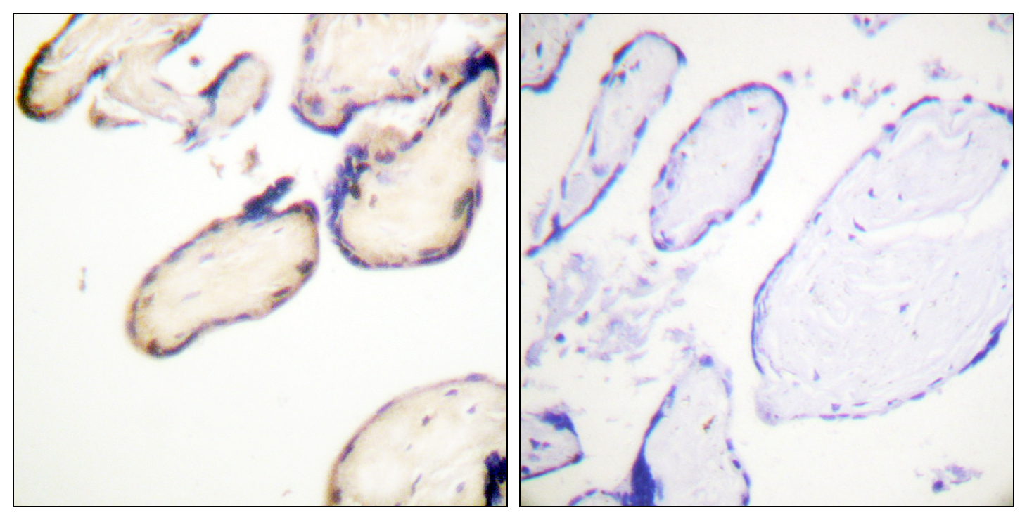 CDC37 (Phospho-Ser13) Antibody (OAAF00226) in Human placenta cells using Immunohistochemistry