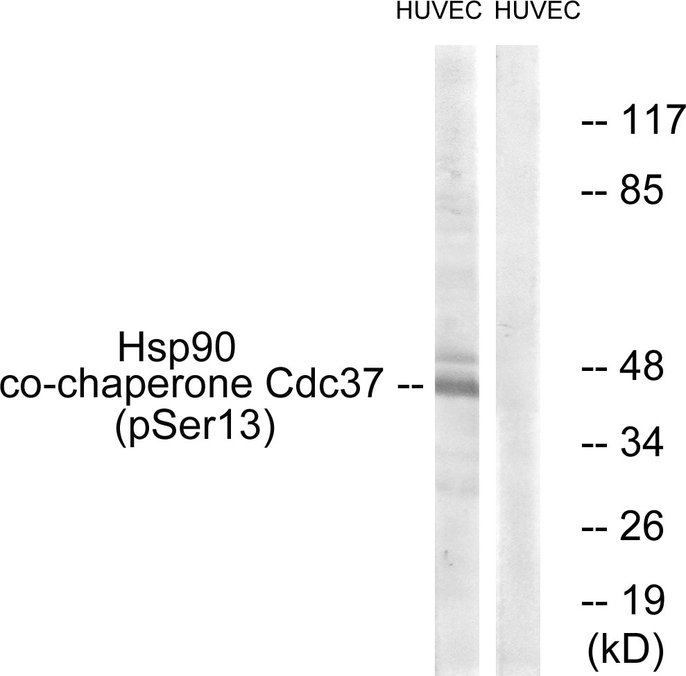 CDC37 (Phospho-Ser13) Antibody (OAAF00226) in HuvEc cells using Western Blot