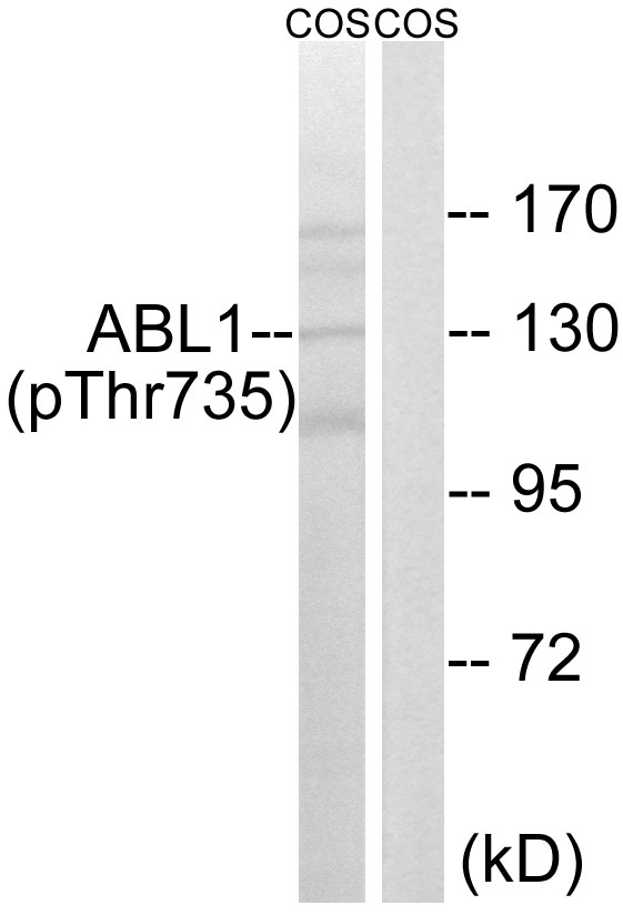 ABL1 (Phospho-Thr735) Antibody (OAAF00429) in COS cells using Western Blot