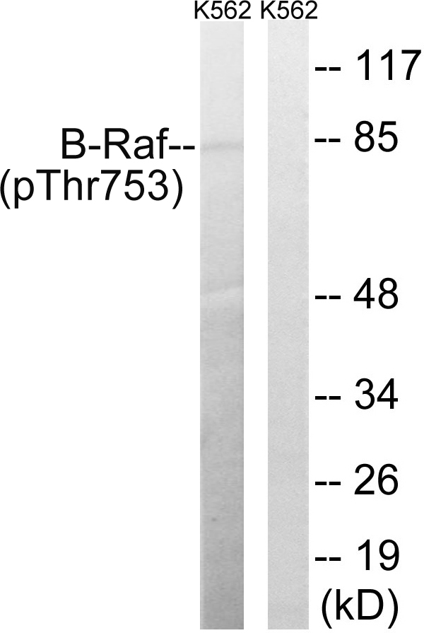 BRAF (Phospho-Thr753) Antibody (OAAF00529) in K562 cells using Western Blot