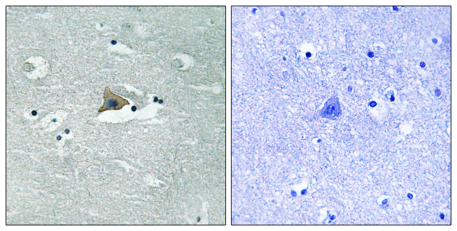 CLDN5 (Phospho-Tyr217) Antibody (OAAF00535) in Human brain cells using Immunohistochemistry