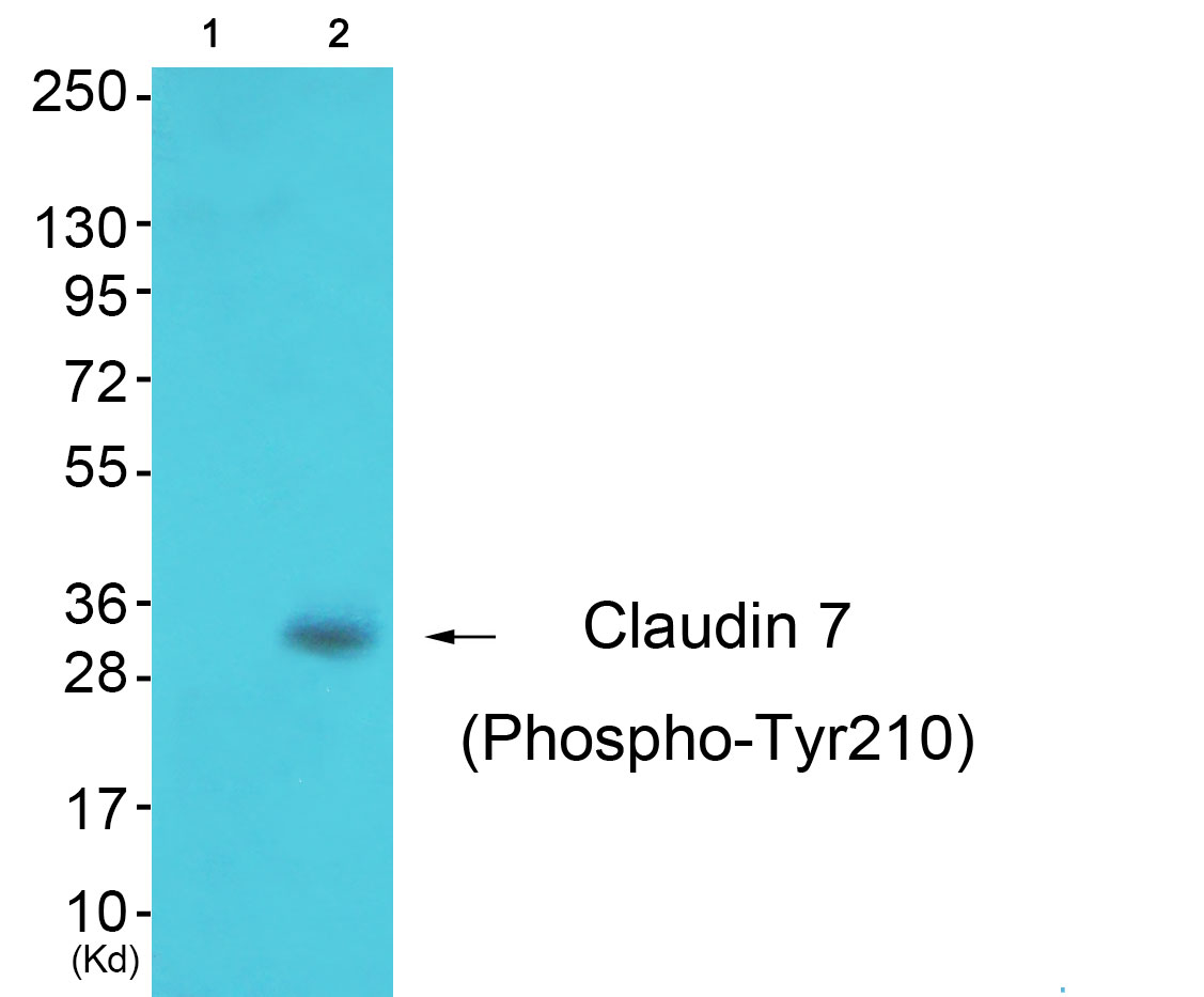 CLDN7 (Phospho-Tyr210) Antibody (OAAF00537) in 3T3 cells using Western Blot