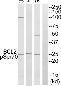 BCL2 (Phospho-Ser70) Antibody (OAAF00594) in 293, Jurkat, NIH-3T3 all cells using Western Blot