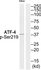 ATF4 (Phospho-Ser219) Antibody (OAAF00608) in COLO cells using Western Blot