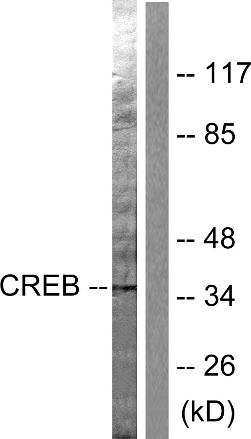 CREB1 Antibody (OAAF00628) in Hela cells using Western Blot