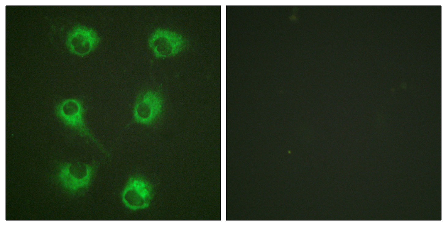CrkL Antibody (OAAF00680) in HuvEc cells using Immunofluorescence