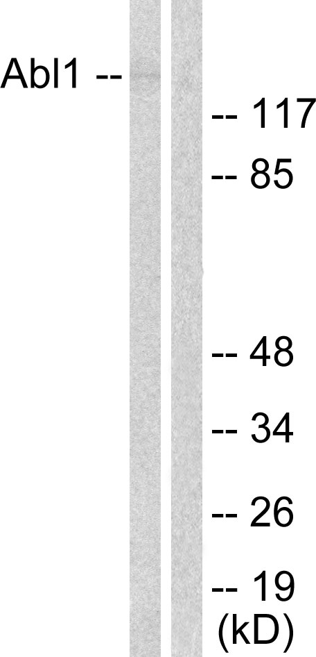 ABL1 Antibody (OAAF00710) in COS7 cells using Western Blot