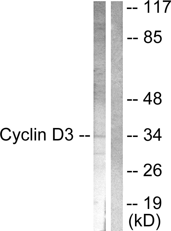 CCND3 Antibody (OAAF00725) in COS7 cells using Western Blot