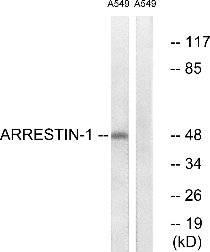 ARRB1 Antibody (OAAF00754) in COS7 cells using Western Blot