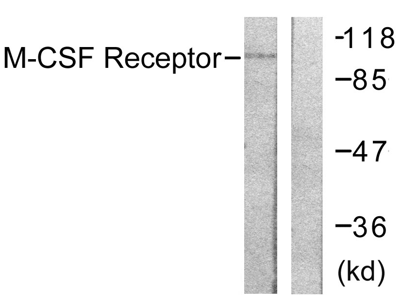 CSF1R Antibody (OAAF00788) in 293 cells using Western Blot