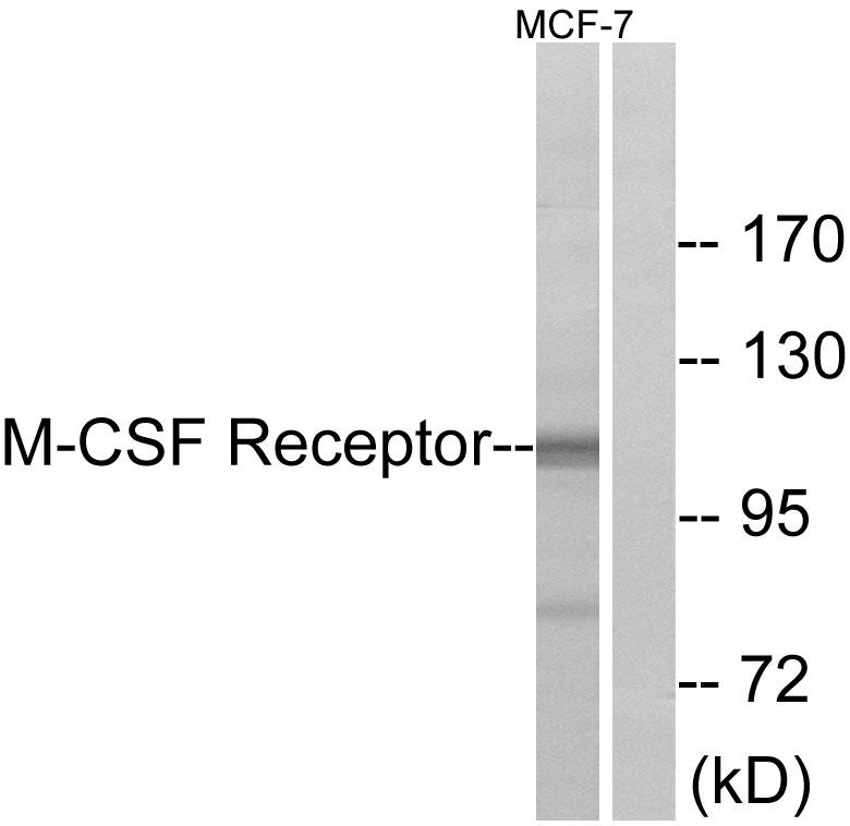 CSF1R Antibody (OAAF00887) in MCF-7 cells using Western Blot