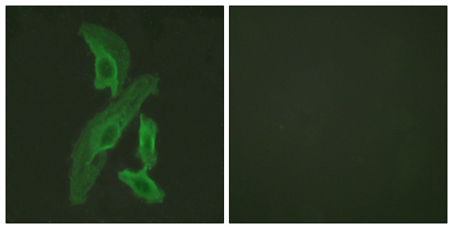 BCL2L1 Antibody (OAAF00935) in HeLa cells using Immunofluorescence