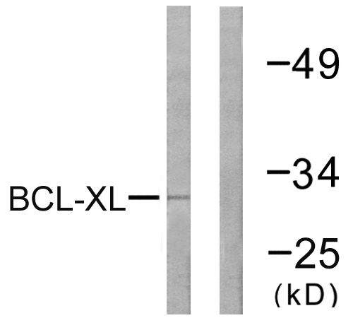 BCL2L1 Antibody (OAAF00935) in 293 cells using Western Blot