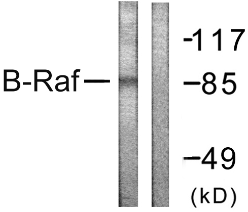 BRAF Antibody (OAAF00939) in K562 cells using Western Blot