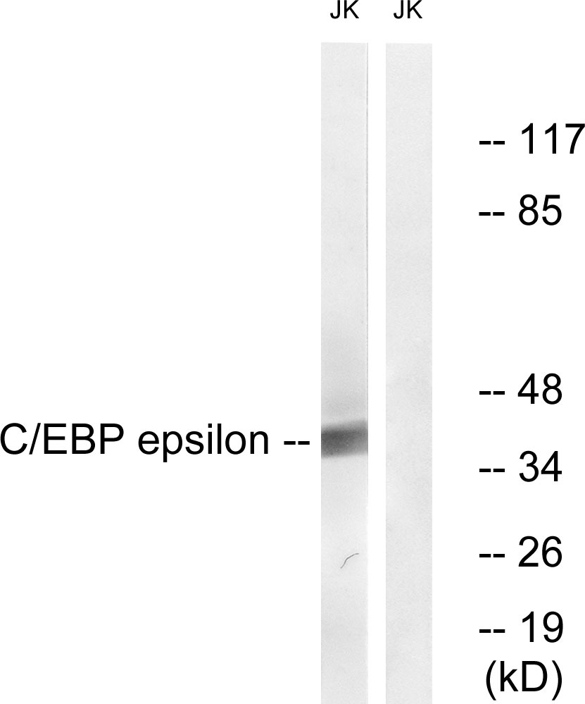CEBPE Antibody (OAAF00972) in HuvEc cells using Western Blot
