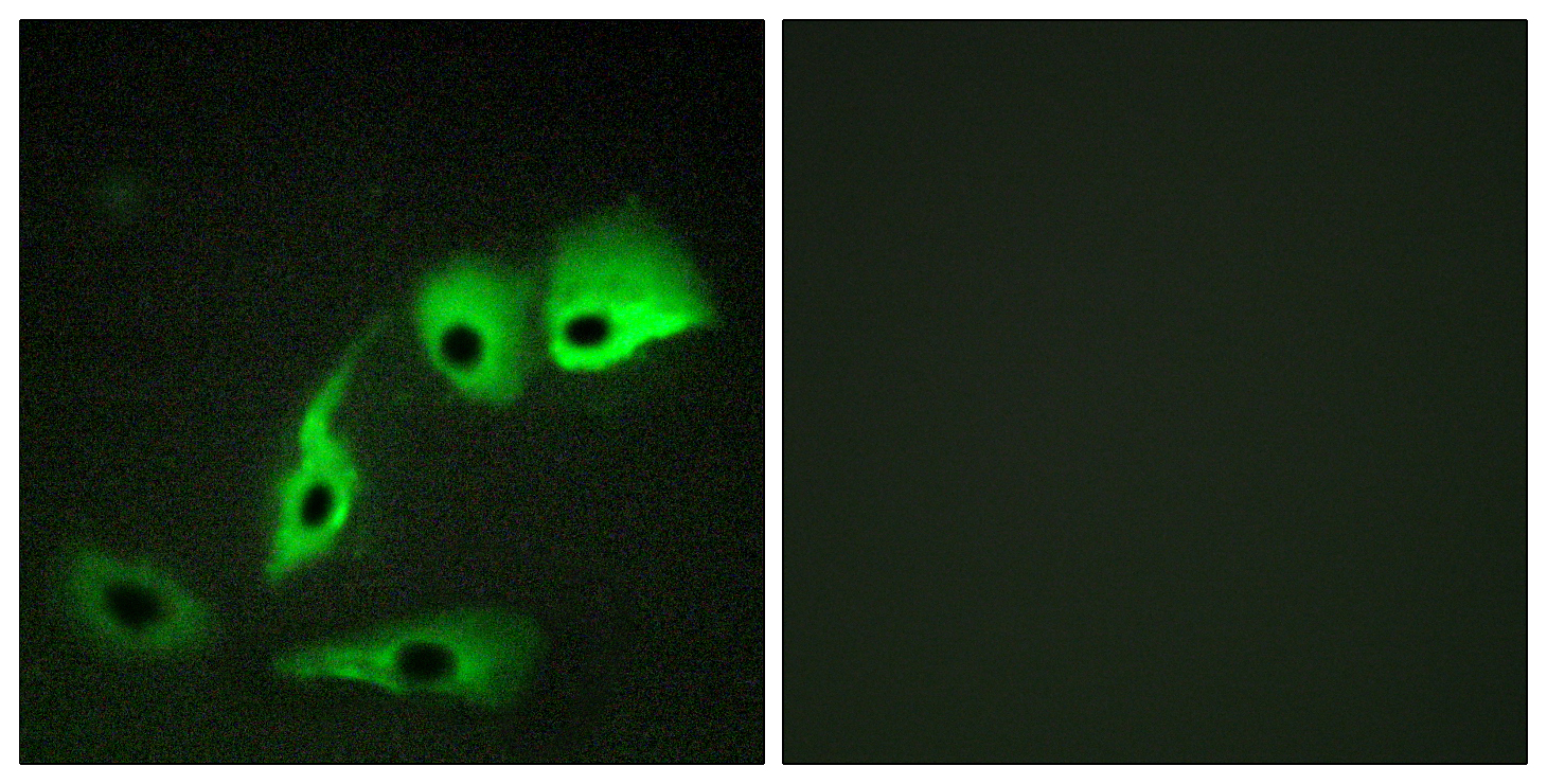 CALM1 Antibody (OAAF00974) in HepG2 cells using Immunofluorescence