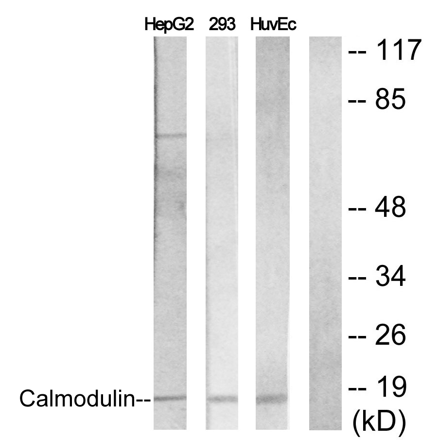 CALM1 Antibody (OAAF00974) in HepG2, 293, HuvEc cells using Western Blot