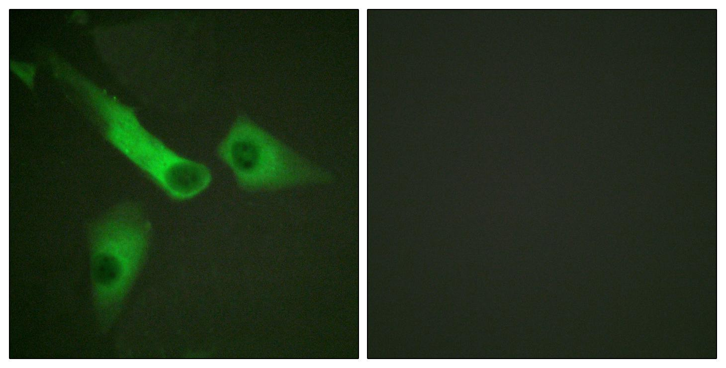 CASP9 Antibody (OAAF00977) in HeLa cells using Immunofluorescence