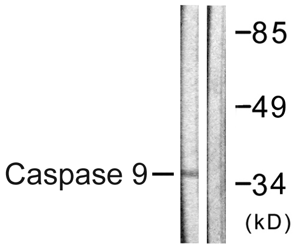 CASP9 Antibody (OAAF00977) in HeLa cells using Western Blot
