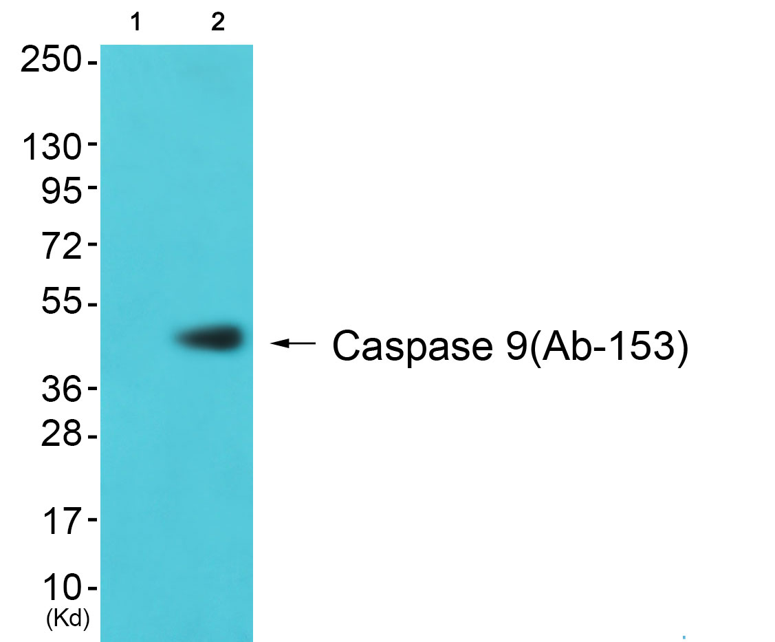 CASP9 Antibody (OAAF00977) in 3T3 cells using Western Blot