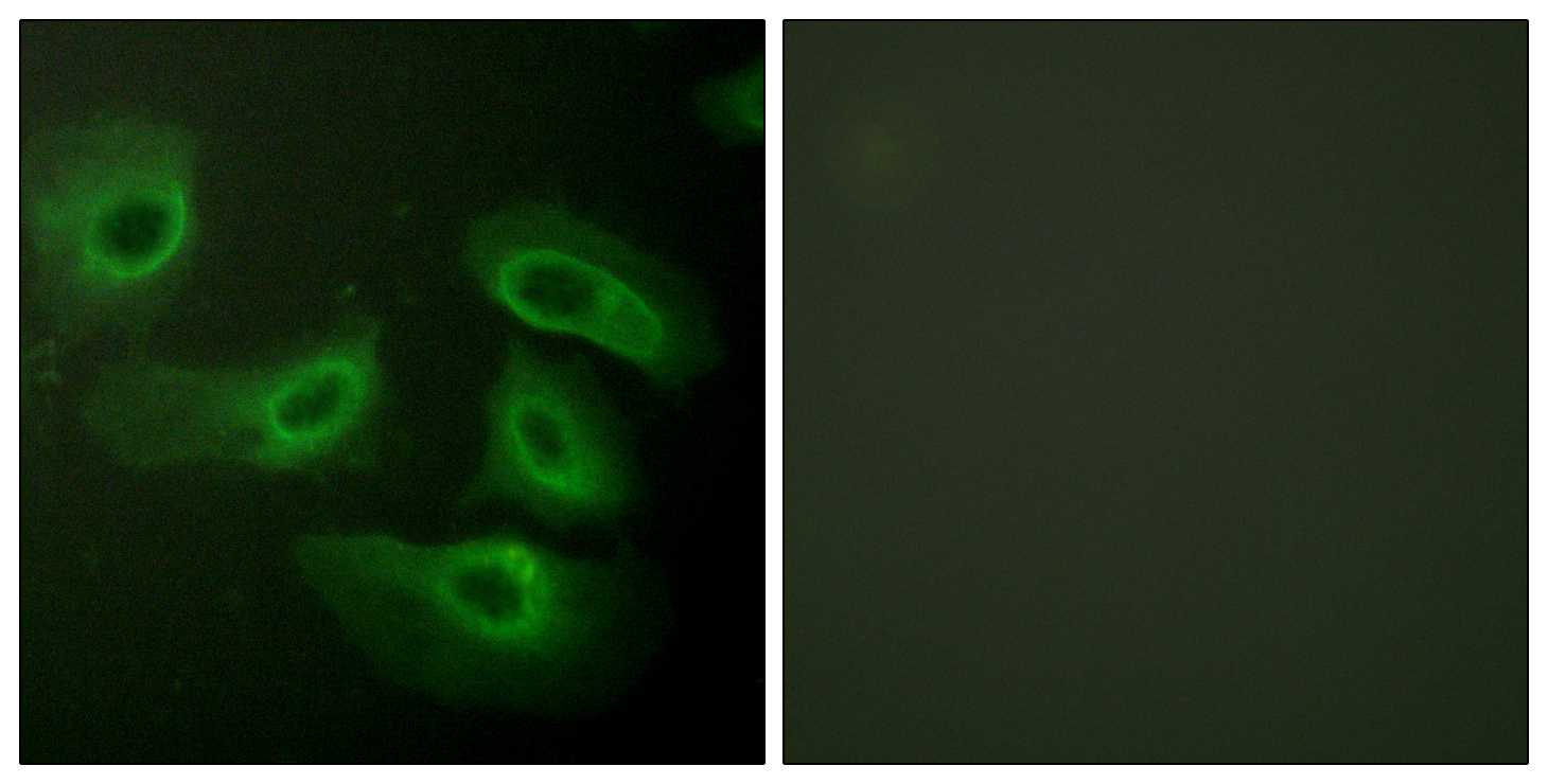 CASP9 Antibody (OAAF00979) in HeLa cells using Immunofluorescence
