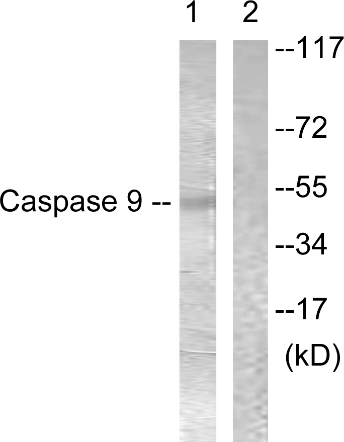 CASP9 Antibody (OAAF00979) in 293 cells using Western Blot