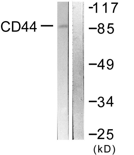 CD44 Antibody (OAAF00989) in NIH-3T3 cells using Western Blot