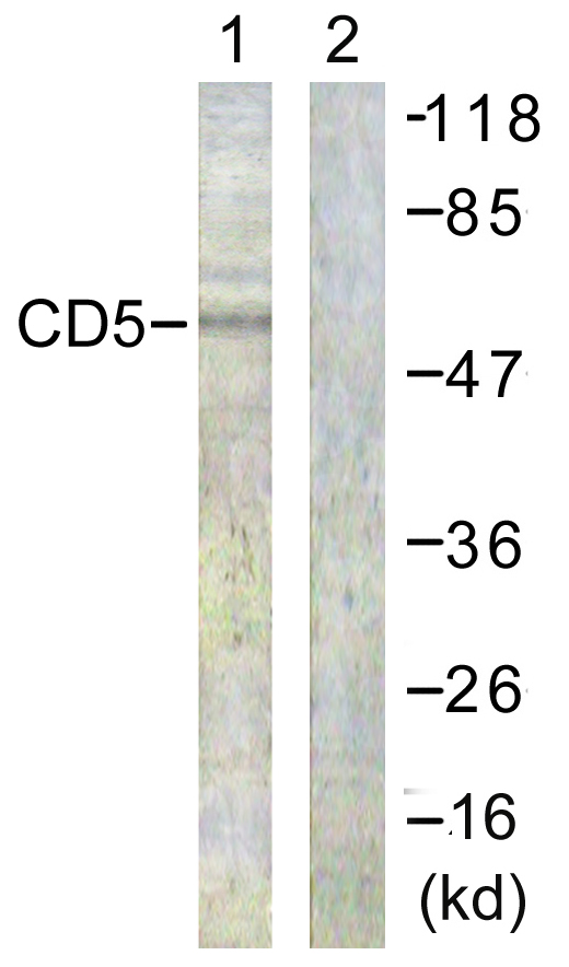 CD5 Antibody (OAAF00991) in 293 cells using Western Blot