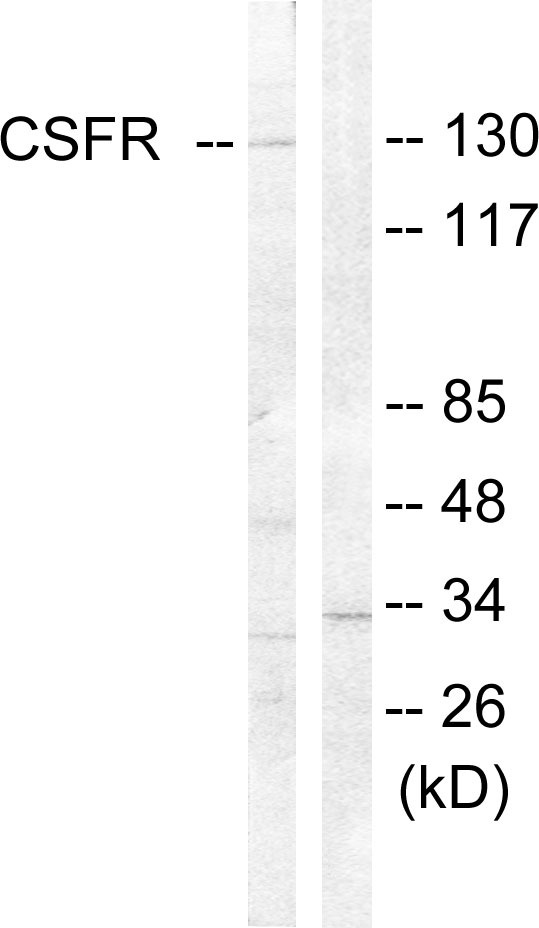 CSF1R Antibody (OAAF01008) in HT-29 cells using Western Blot