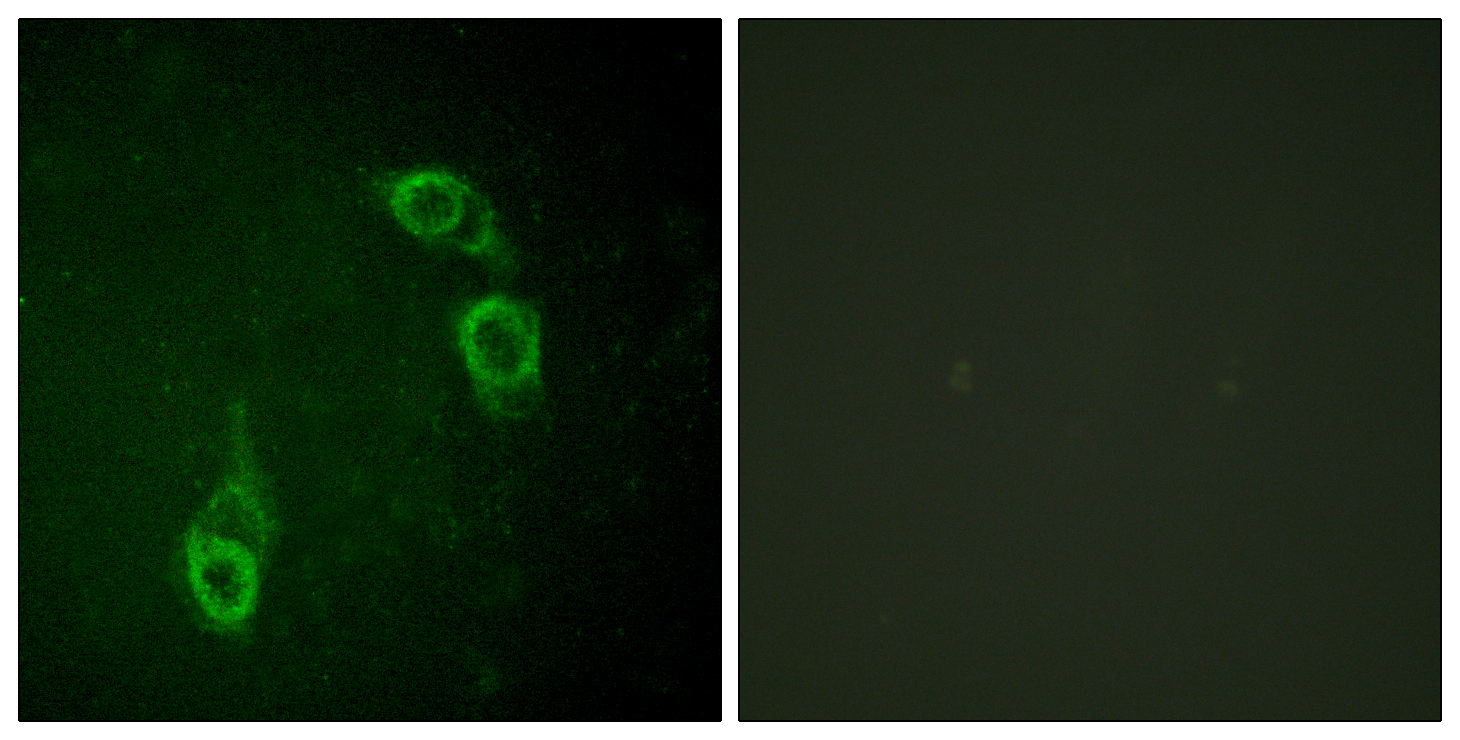 ANAPC1 Antibody (OAAF01096) in HepG2 cells using Immunofluorescence