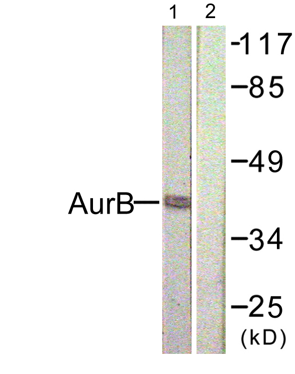 AURKB Antibody (OAAF01097) in COS7 Nocodazole cells using Western Blot
