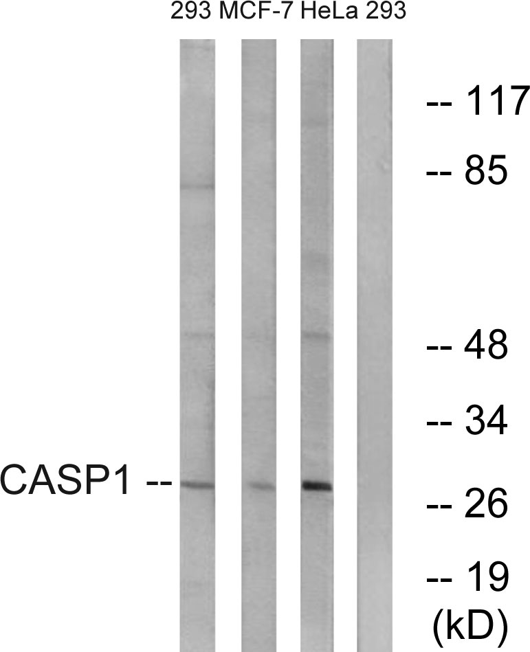 CASP1 Antibody (OAAF01099) in 293, MCF-7, HeLa cells using Western Blot