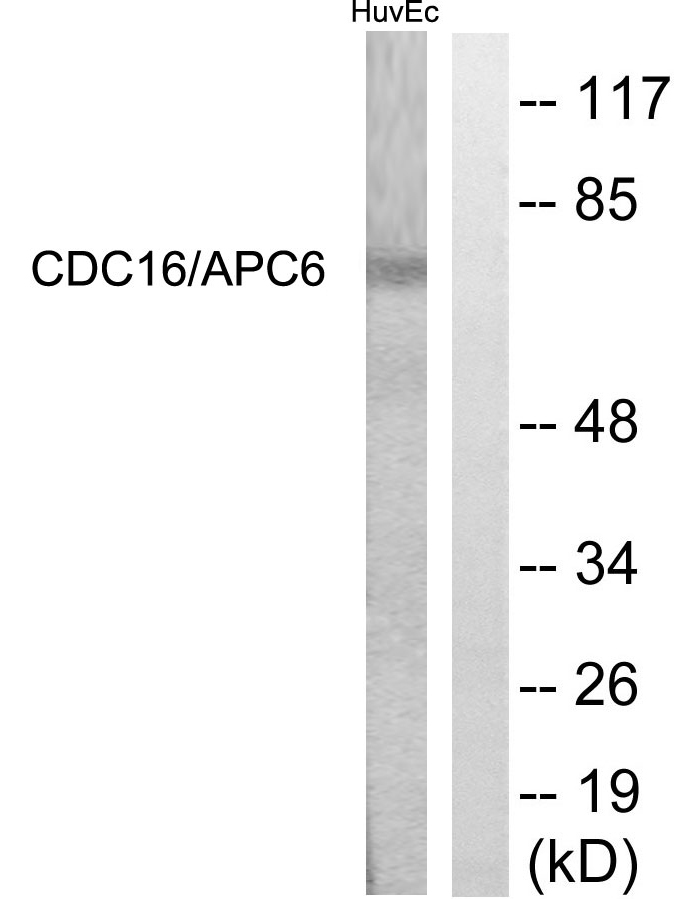 CDC16 Antibody (OAAF01101) in HuvEc cells using Western Blot