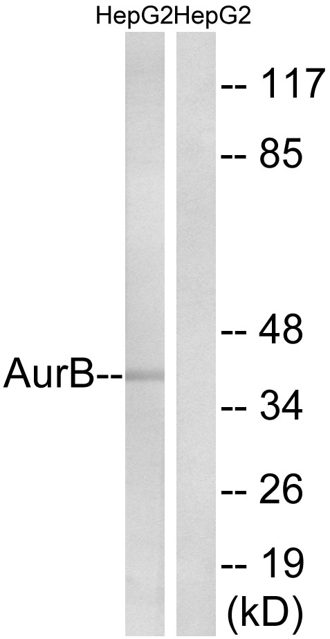 AURKB Antibody (OAAF01167) in Raw264.7 cells using Western Blot