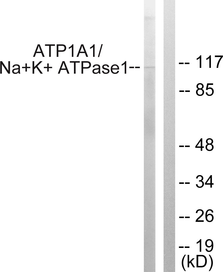 Atp1a1 Antibody (OAAF01168) in HeLa cells using Western Blot