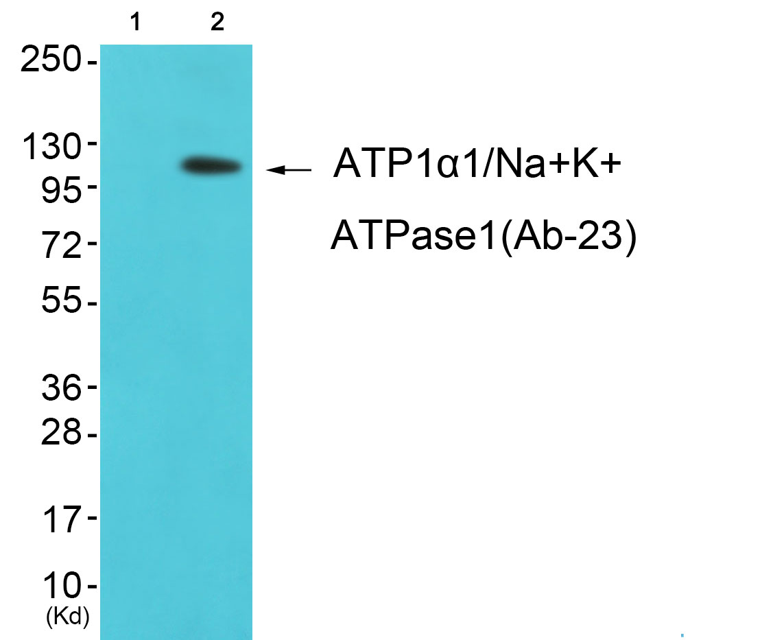 Atp1a1 Antibody (OAAF01168) in K562 cells using Western Blot