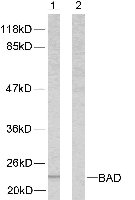 BAD Antibody (OAAF01245) in 293 cells using Western Blot
