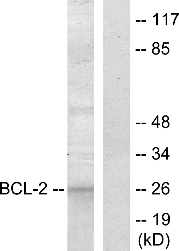 BCL2 Antibody (OAAF01247) in COS7 cells using Western Blot