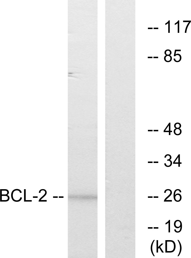 BCL2 Antibody (OAAF01248) in MCF7 cells using Western Blot