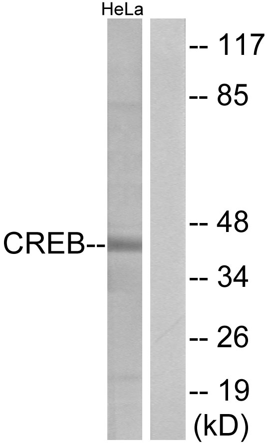 CREB1 Antibody (OAAF01272) in HeLa cells using Western Blot