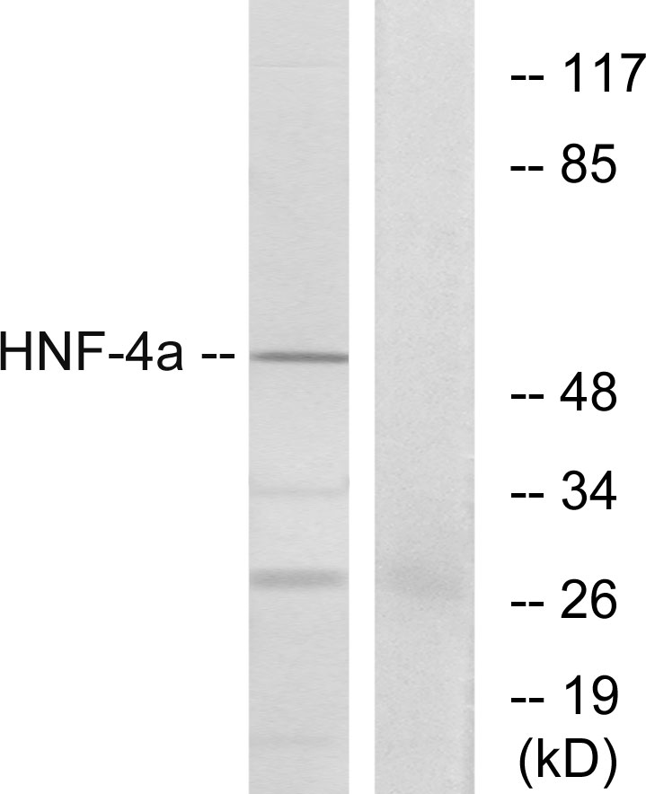 HNF4A Antibody (OAAF01327) in HT-29 cells using Western Blot