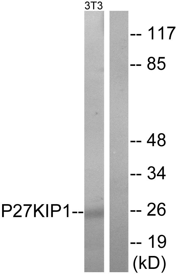 CDKN1B Antibody (OAAF01396) in NIH-3T3 cells using Western Blot