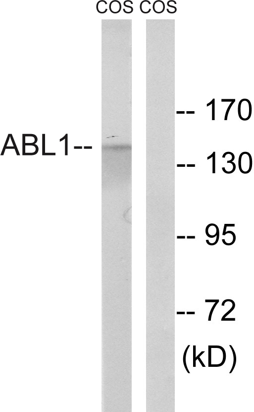 ABL1 Antibody (OAAF01509) in COS cells using Western Blot