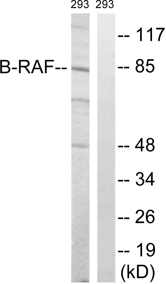 BRAF Antibody (OAAF01514) in 293 cells using Western Blot