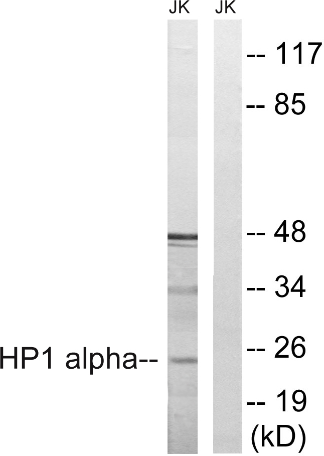 CBX5 Antibody (OAAF01597) in Jurkat cells using Western Blot