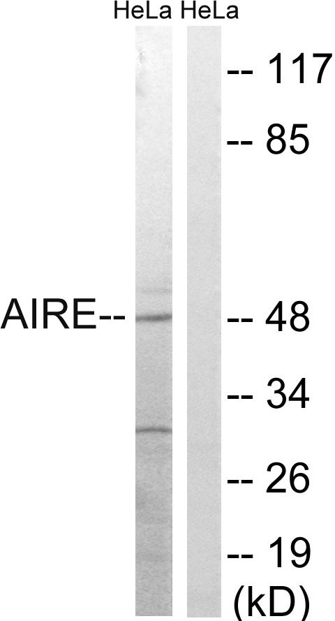 AIRE Antibody (OAAF01606) in HeLa cells using Western Blot