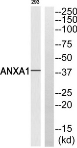 ANXA1 Antibody (OAAF01608) in 293 cells using Western Blot