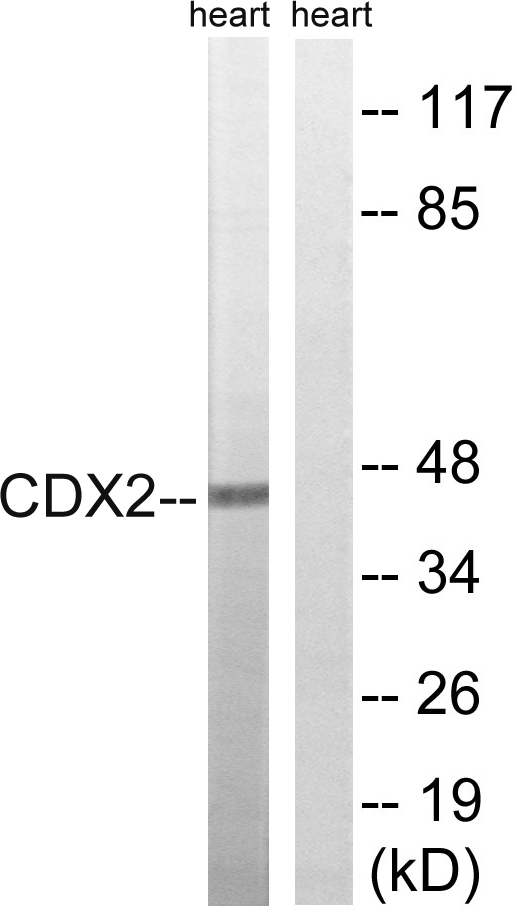 CDX2 Antibody (OAAF01620) in Rat heart cells using Western Blot