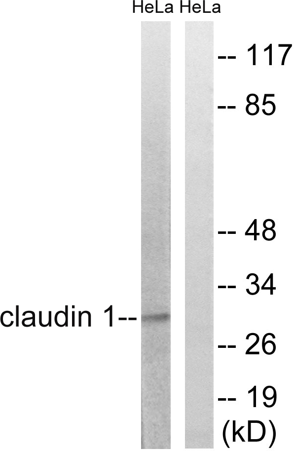 CLDN1 Antibody (OAAF01621) in HeLa cells using Western Blot